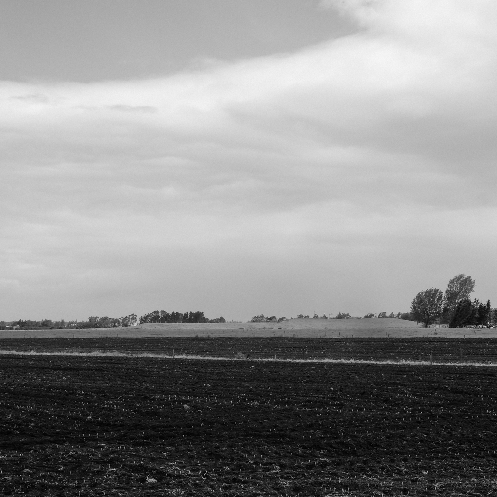Germinating maize, Collins Road, Hamilton.