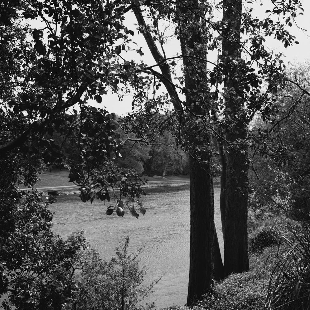 — Chinese Poplar. Waikato River, Hamilton.