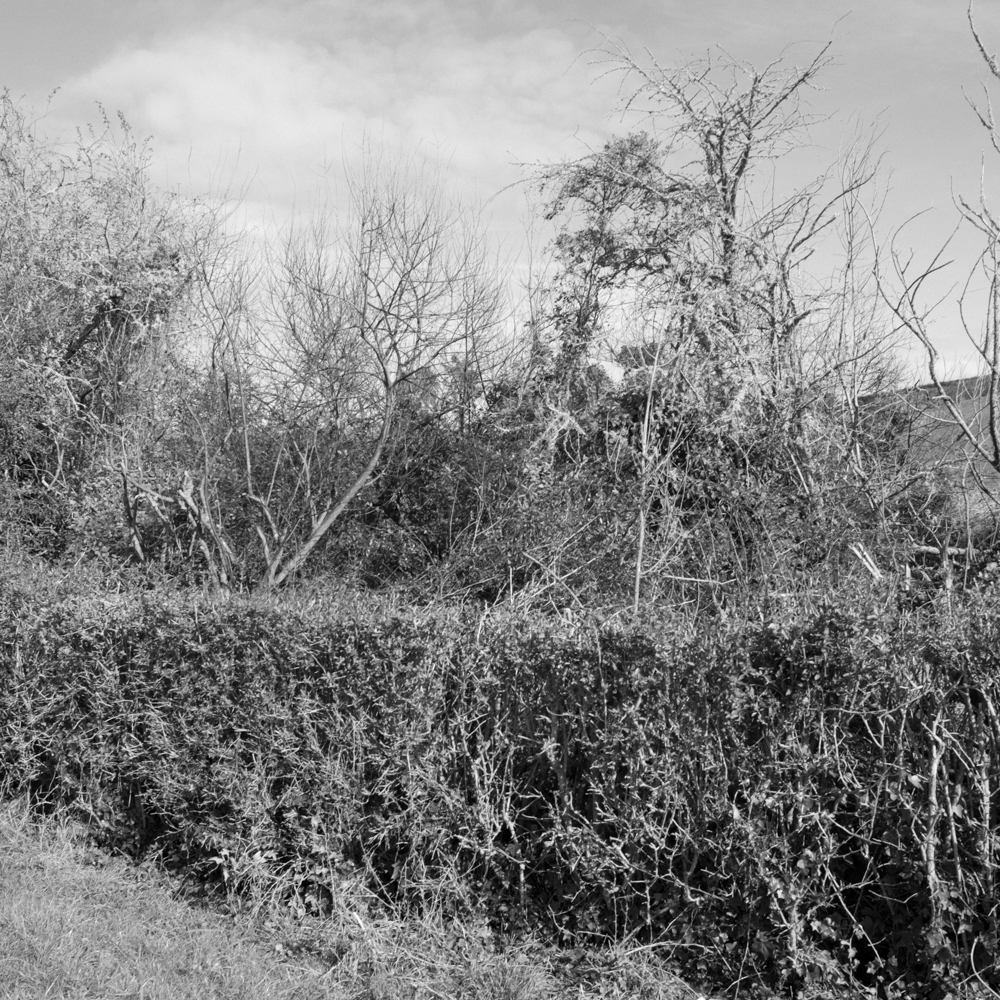 Hedgerow on dairy farm.