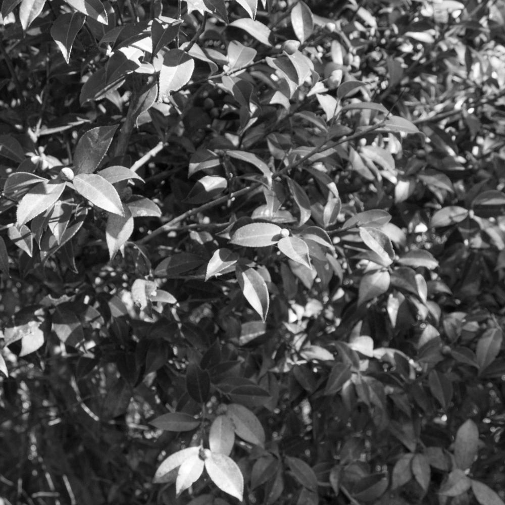 — Camellia.