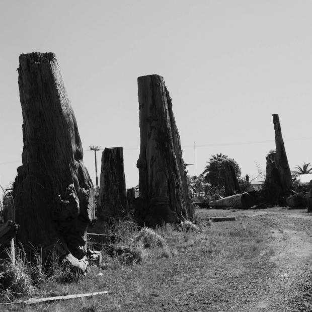— Ancient Kauri stumps. Northland.