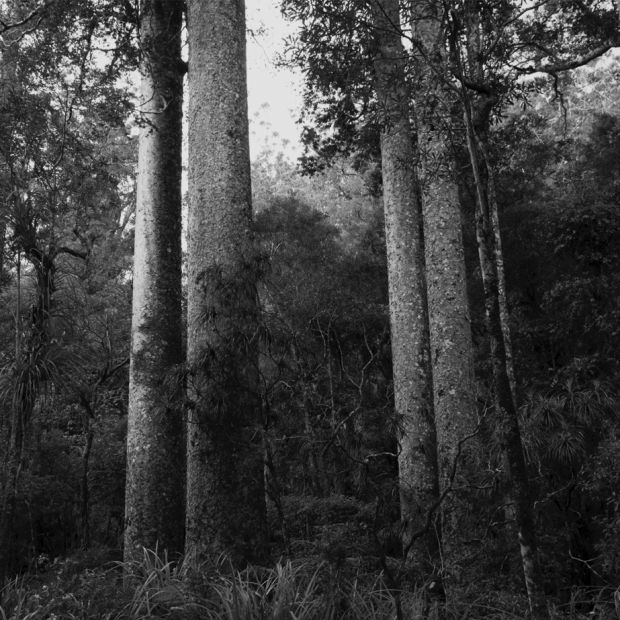 — Kauri trees. Puketi Forest, Northland.