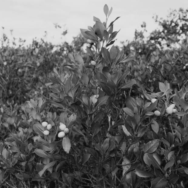 — Mangrove fruit. Waitangi.